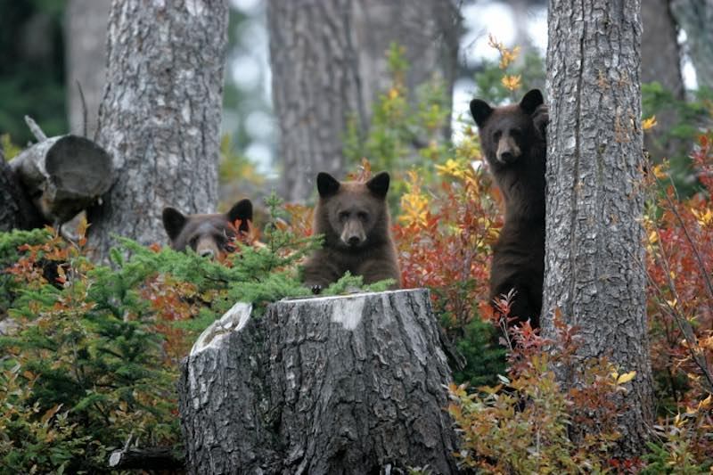 where to see bears in whistler