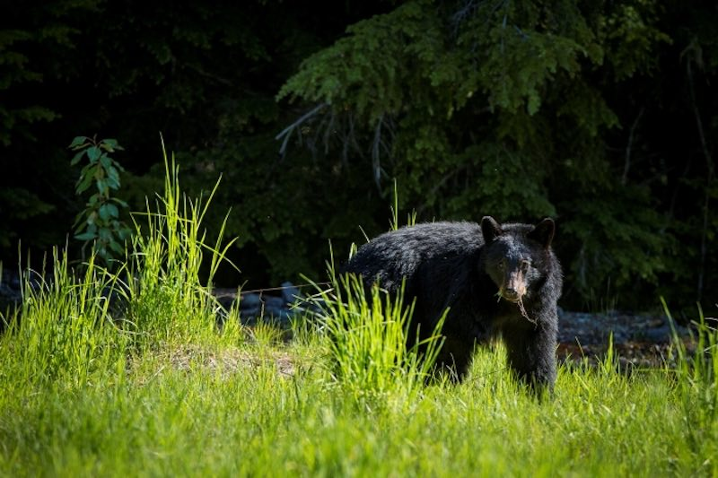 whistler bear safety